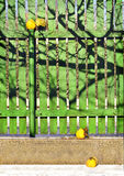 Vintage still life with yellow quince and wooden fence Royalty Free Stock Images