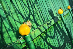 Vintage still life with yellow quince and wooden fence Royalty Free Stock Image