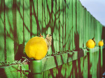 Vintage still life with yellow quince and wooden fence Royalty Free Stock Photos