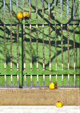 Vintage still life with yellow quince and wooden fence Stock Photography