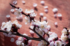 Vintage style of cherry flowers branch on wooden cracked background. With unusual helios lens swirling drawing Royalty Free Stock Images