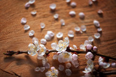 Vintage style of cherry flowers branch on wooden cracked background. With unusual helios lens swirling drawing Royalty Free Stock Photo