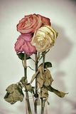 Vintage style faded three rose flowers Royalty Free Stock Images