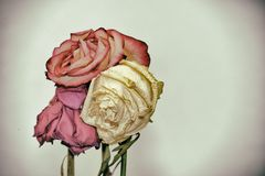 Vintage style faded three rose flowers Royalty Free Stock Photo