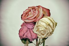 Vintage style faded three rose flowers Royalty Free Stock Photography