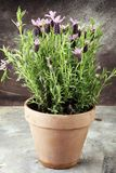 Vintage style flower pot and potted lavender plants. Vintage style flower pot and potted lavender plants stock image