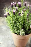 Vintage style flower pot and potted lavender plants. Vintage style flower pot and potted lavender plants royalty free stock photography