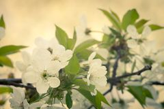 Vintage style  image of blooming cherry tree Stock Image