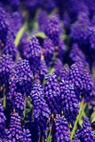 Vintage style image of Bluebells (Grape Hyacinth), selective focus. Stock Photos