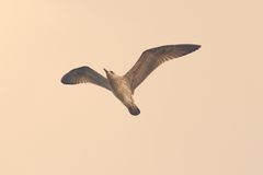 Vintage style image of a gull Royalty Free Stock Image