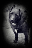 Vintage style photo of patterdale terrier. Photo in black and white vintage style of a patterdale terrior dog Royalty Free Stock Image