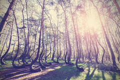 Vintage style picture of Crooked Forest, Gryfino in Poland Stock Photography