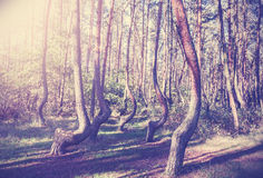 Vintage style picture of Crooked Forest, Poland Stock Photography