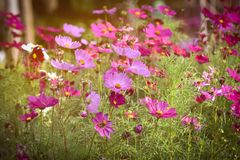 Vintage Style Pink cosmos flowers blooming Royalty Free Stock Image