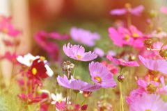 Vintage Style Pink cosmos flowers blooming Stock Photography
