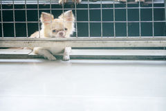 Vintage style pitiful chihuahua dog sitting in cage Royalty Free Stock Images