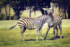 two zebra playing Royalty Free Stock Photo