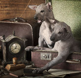 Vintage styled puppies portrait. Vintage styled portrait of Mexican xoloitzcuintle puppies Stock Images