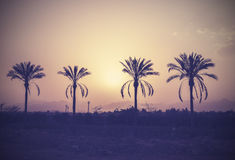 Vintage stylized palm trees silhouettes at sunset. Stock Image