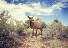 Vintage stylized photo of a female moose. Royalty Free Stock Photography
