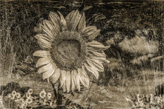 Vintage Sunflower Stock Photo