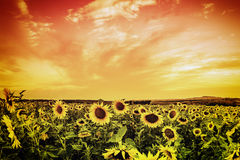 Vintage sunflower field Royalty Free Stock Image