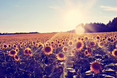 Vintage Sunflowers Stock Image