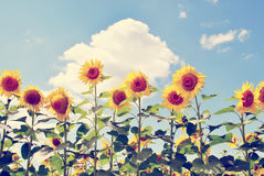 Vintage sunflowers royalty free stock images