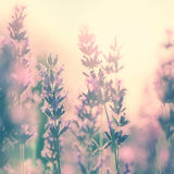 Vintage sunny lavender Royalty Free Stock Photos