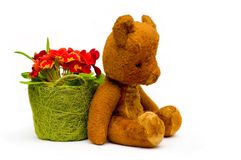 Vintage teddy with primrose flowers. Vintage teddy sitting with primrose flowers in green tidy, isolated picture Royalty Free Stock Image