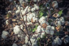 Row of cotton fields ready for harvesting in South Texas, USA. Vintage tone close-up cotton bud stem on fields ready for harvesting in Corpus Christi, Texas, USA royalty free stock photo