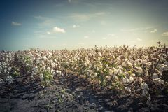Row of cotton fields ready for harvesting in South Texas, USA. Vintage tone cotton fields ready for harvesting under cloud blue sky in Corpus Christi, Texas, USA royalty free stock photography