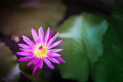 Vintage tone of pink and yellow lotus with blur lotus leaves background with vignette and dark border Royalty Free Stock Images