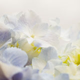 Vintage tone of  Sweet blue Hydrangeas in soft color style Royalty Free Stock Photography