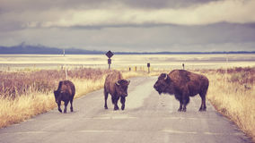 Vintage toned American bison crossing road Stock Photography