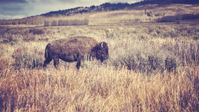 Vintage toned American bison grazing in the Grand Teton National Stock Photos