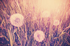 Vintage toned dandelion on a meadow. stock photo