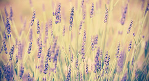 Vintage toned lavender flower, shallow depth of field. Stock Image