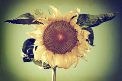 Vintage Photo of a Sunflower Royalty Free Stock Photo