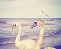 Vintage toned picture of two mute swans on a beach. Stock Photo