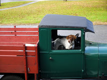 Vintage truck: spotted dog passenger. Green vintage truck with brown and white spotted dog in passenger seat Royalty Free Stock Photography