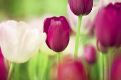 Vintage tulips Stock Photography
