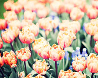 Vintage tulips in a garden Stock Photography