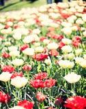 Vintage tulips in a garden Stock Photos