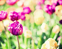 Vintage tulips in a garden Stock Images