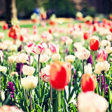 Vintage tulips in a garden Stock Image