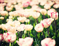 Vintage tulips in a garden Royalty Free Stock Image