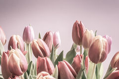 Vintage tulips pale pinks Stock Image