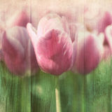 Vintage tulips Royalty Free Stock Photography