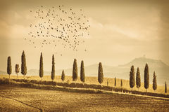 Vintage Tuscany Landscape of cypresses trees and birds. Vintage Tuscany Landscape of country road, cypresses trees and birds - Tuscany nature, Pienza, Italy Royalty Free Stock Photography